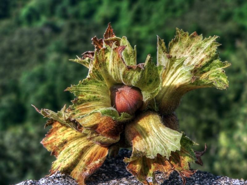 Giresun il ve ilçelerinde Fındık hasat tarihi belli oldu!